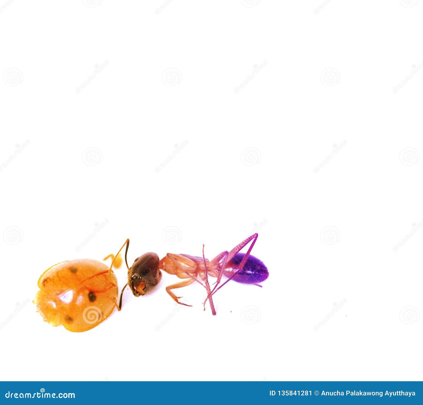 Lieveheersbeestjes en mierenmatrijs