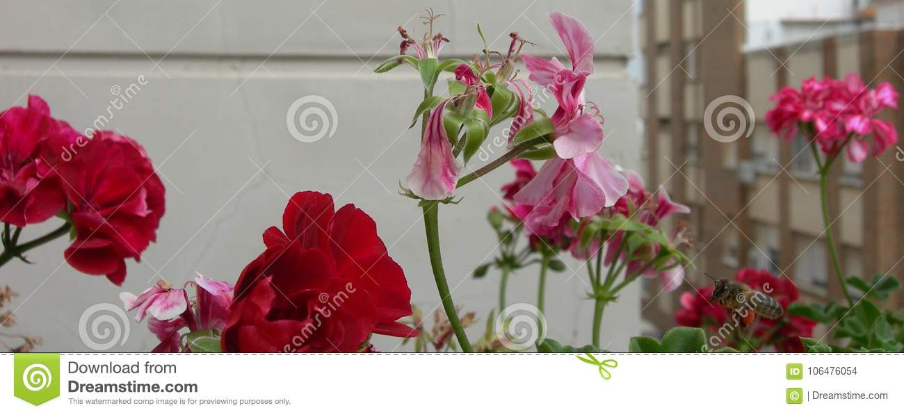 Beautiful red and marbled flowers. A bee near the geraniums.