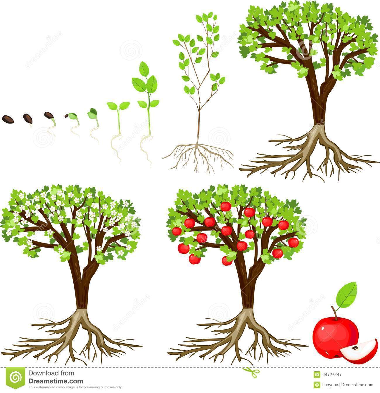 Stock Illustration Life Cycle Apple Tree White Background Image64727247 on Printable Apple Life Cycle