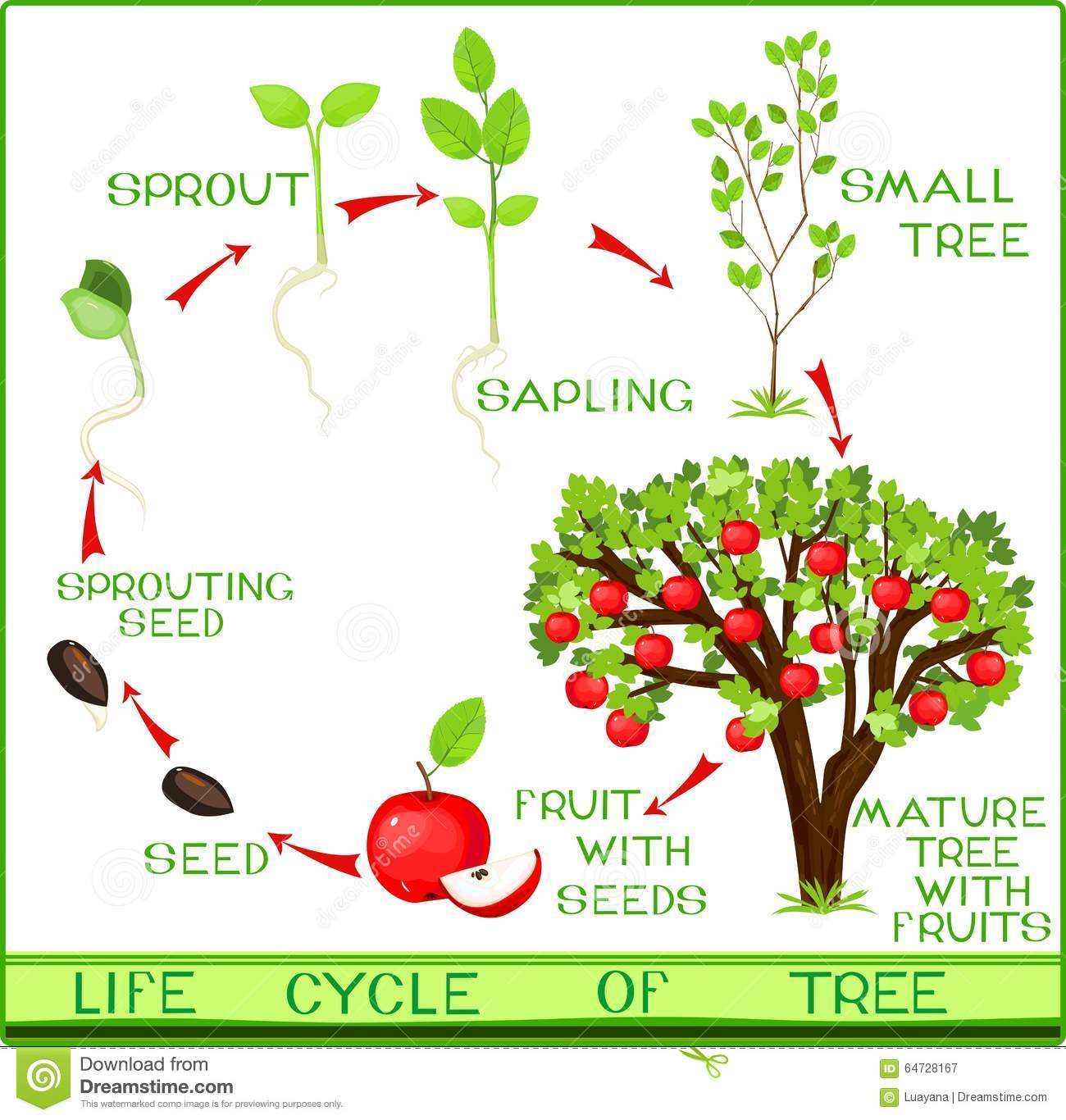Life Cycle Of Apple Tree Stock Vector  Image Of Life