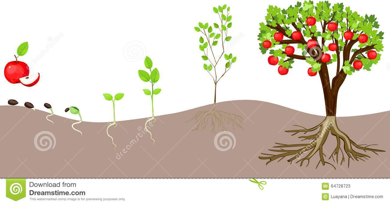 Life Cycle Of Apple Tree Stock Vector  Illustration Of Fruit