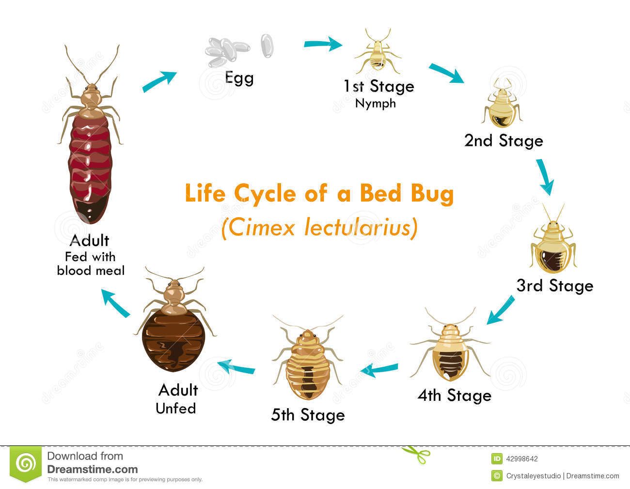 Life Cycle Of The Bed Bug Vector Eps10 Stock Vector
