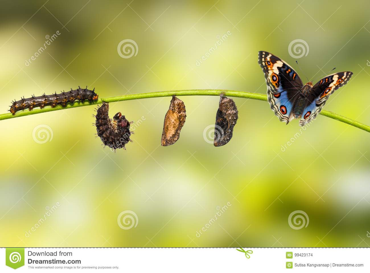 Life cycle of blue pansy butterfly Junonia orithya Linnaeus