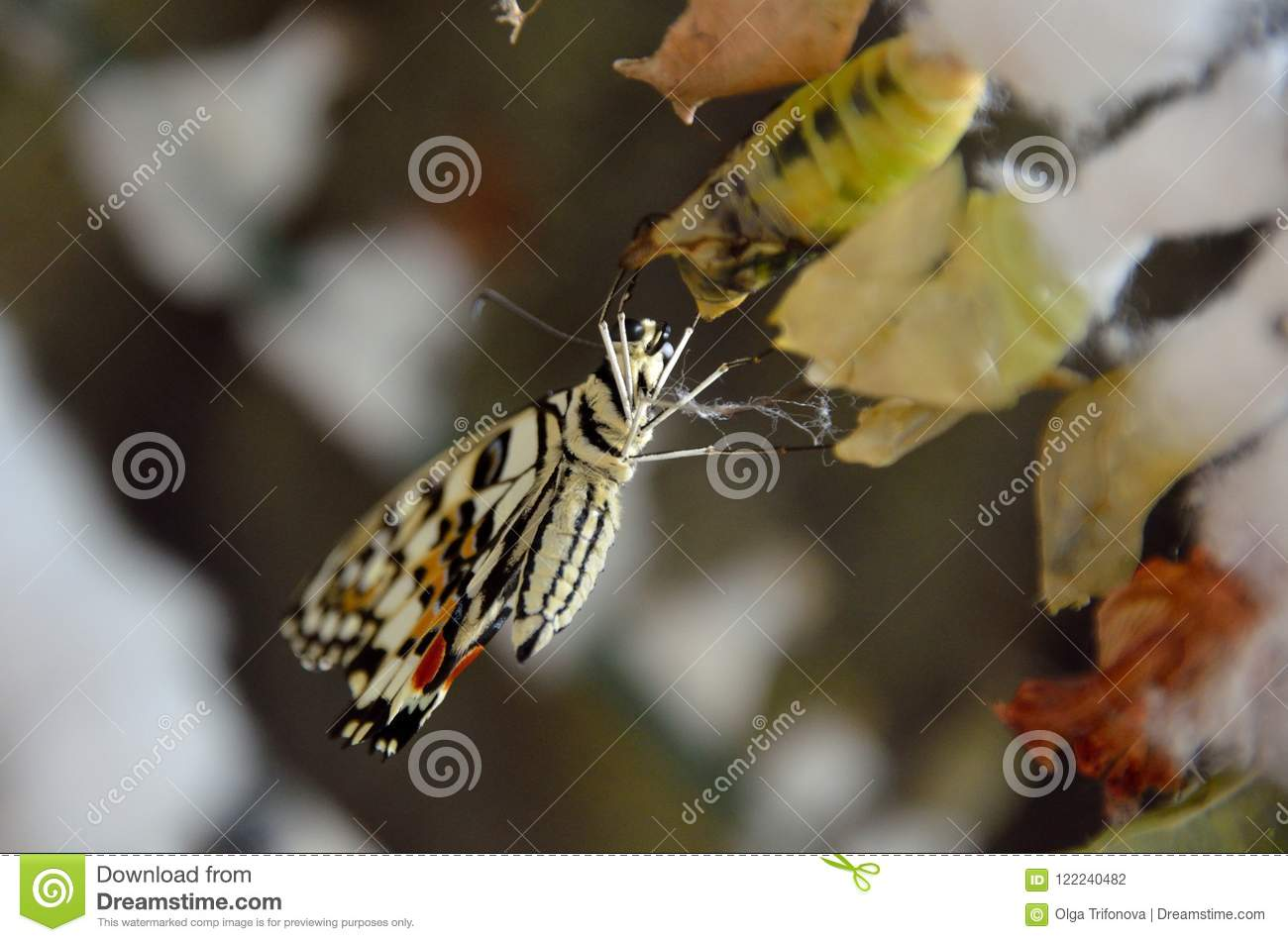 Life cycle of butterflies. Butterfly chrysalis