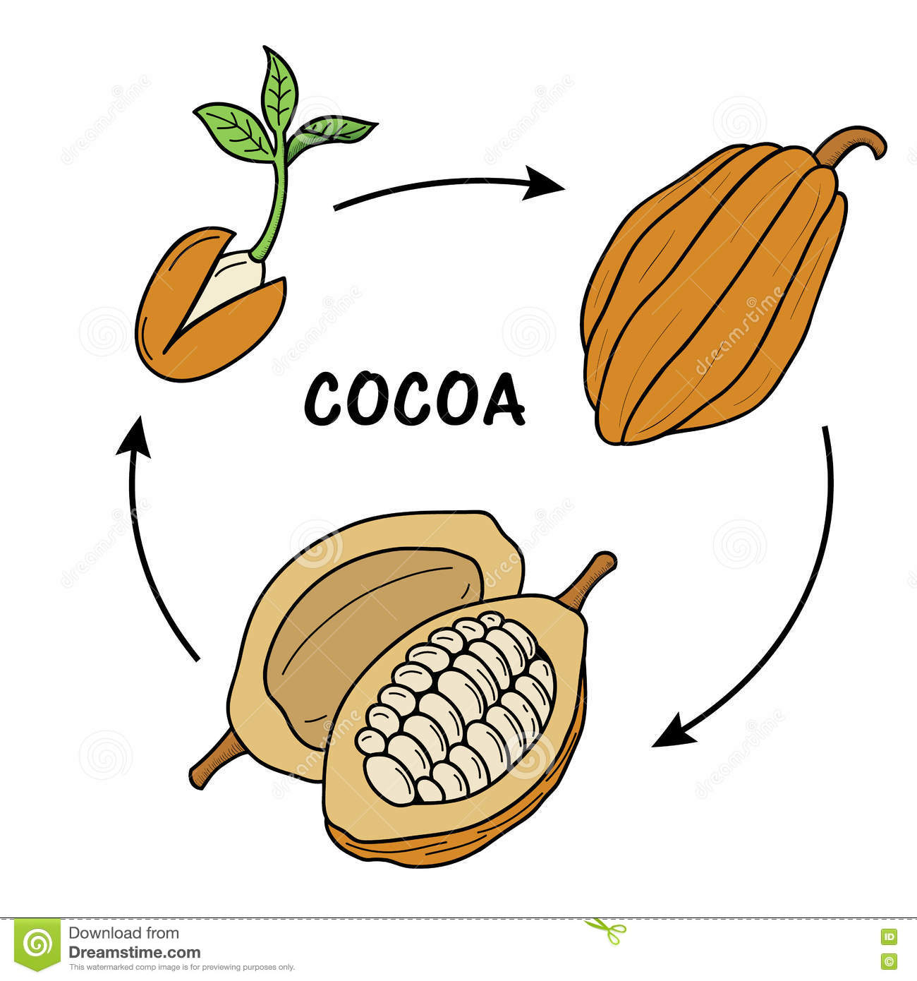 The Life Cycle Of Cocoa. Stock Vector - Image: 71963297