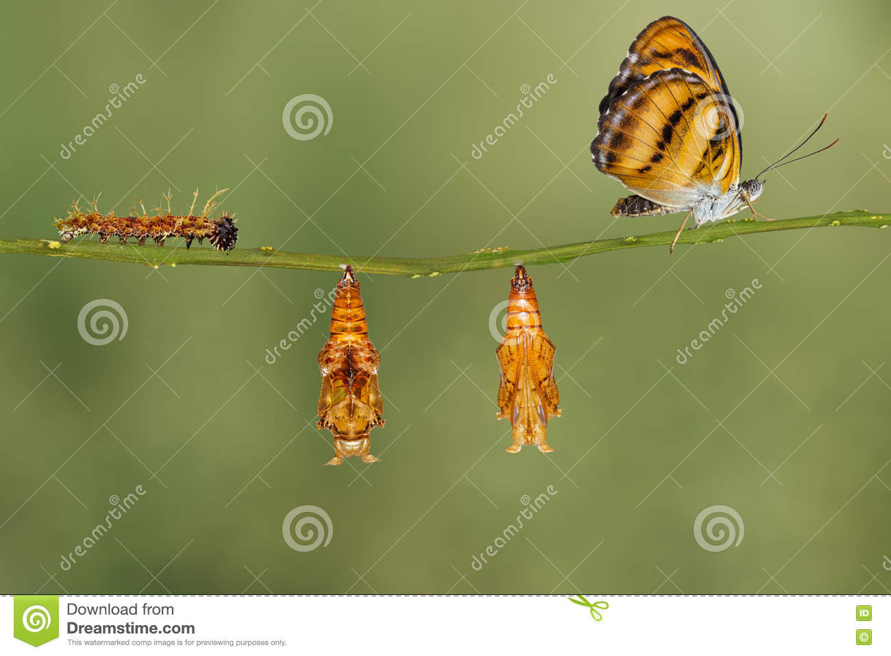 Life cycle of colour segeant butterfly hanging on twig