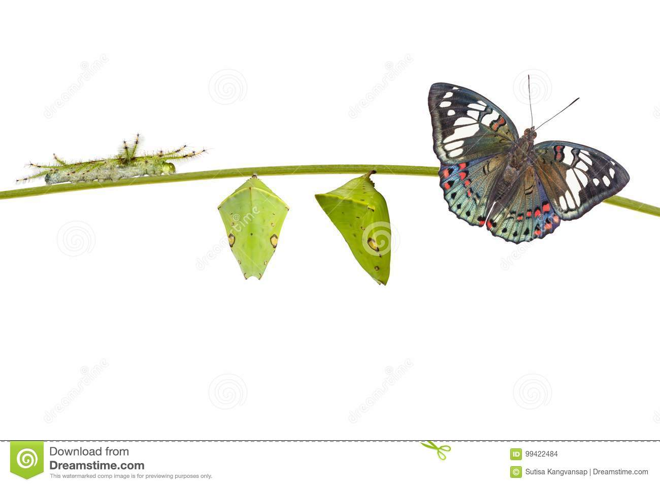 Life cycle of Common Gaudy Baron butterfly Euthalia lubentina
