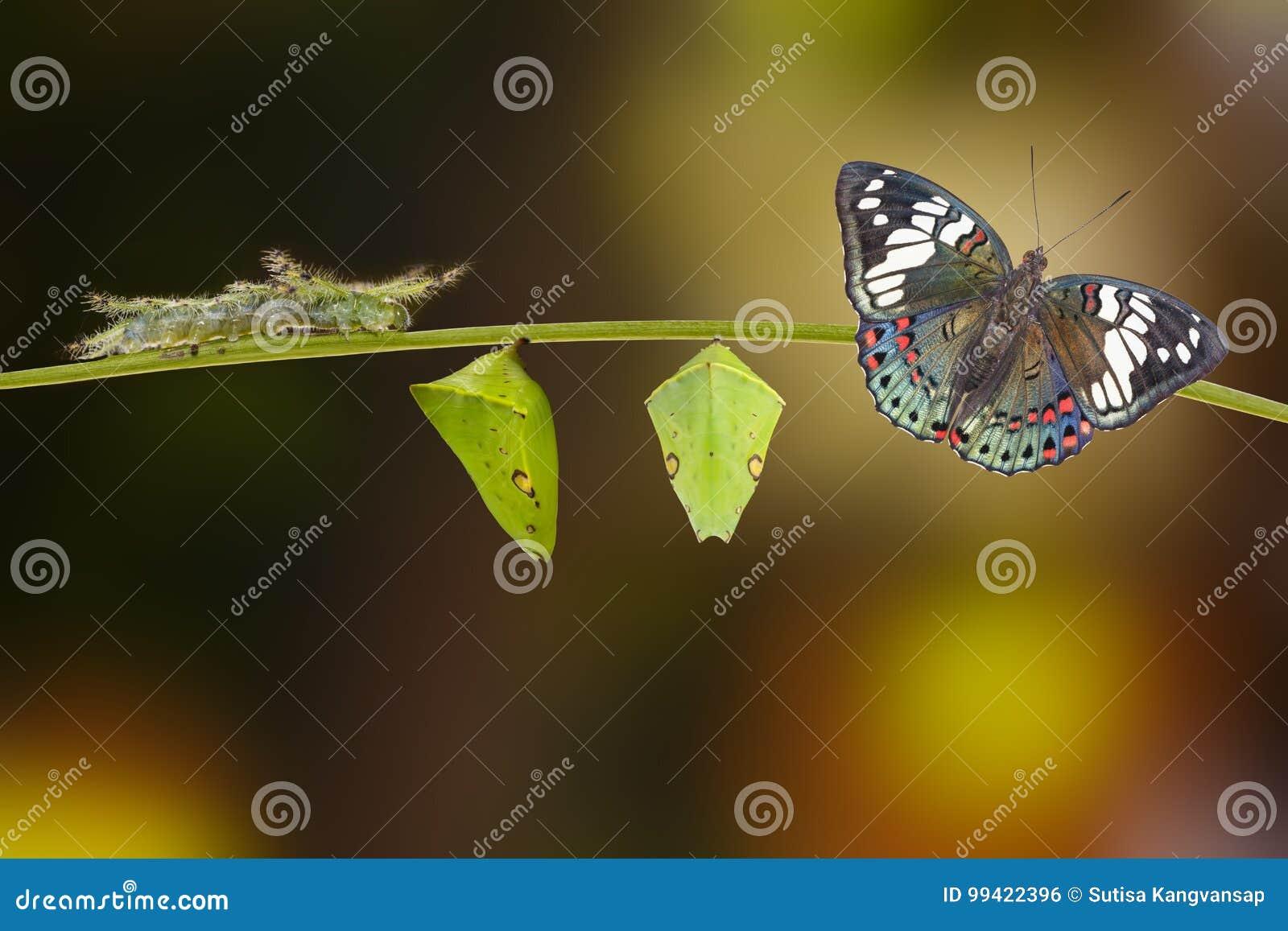 Life cycle of Common Gaudy Baron butterfly Euthalia lubentina