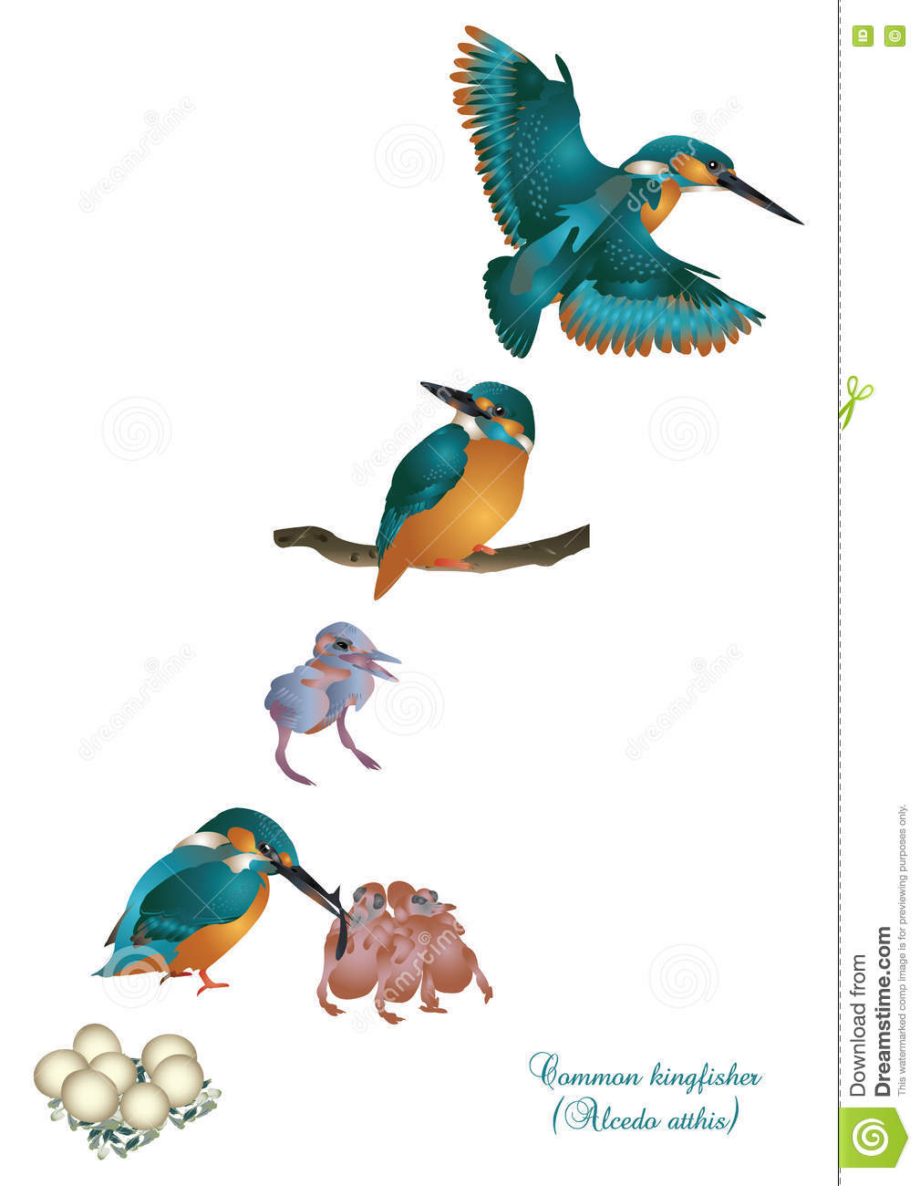 kingfisher lifecycle The azure kingfisher is a small kingfisher with a long slender black bill and a short tail the head, neck, upper parts and breast sides are deep azure blue with a violet (purplish) sheen.