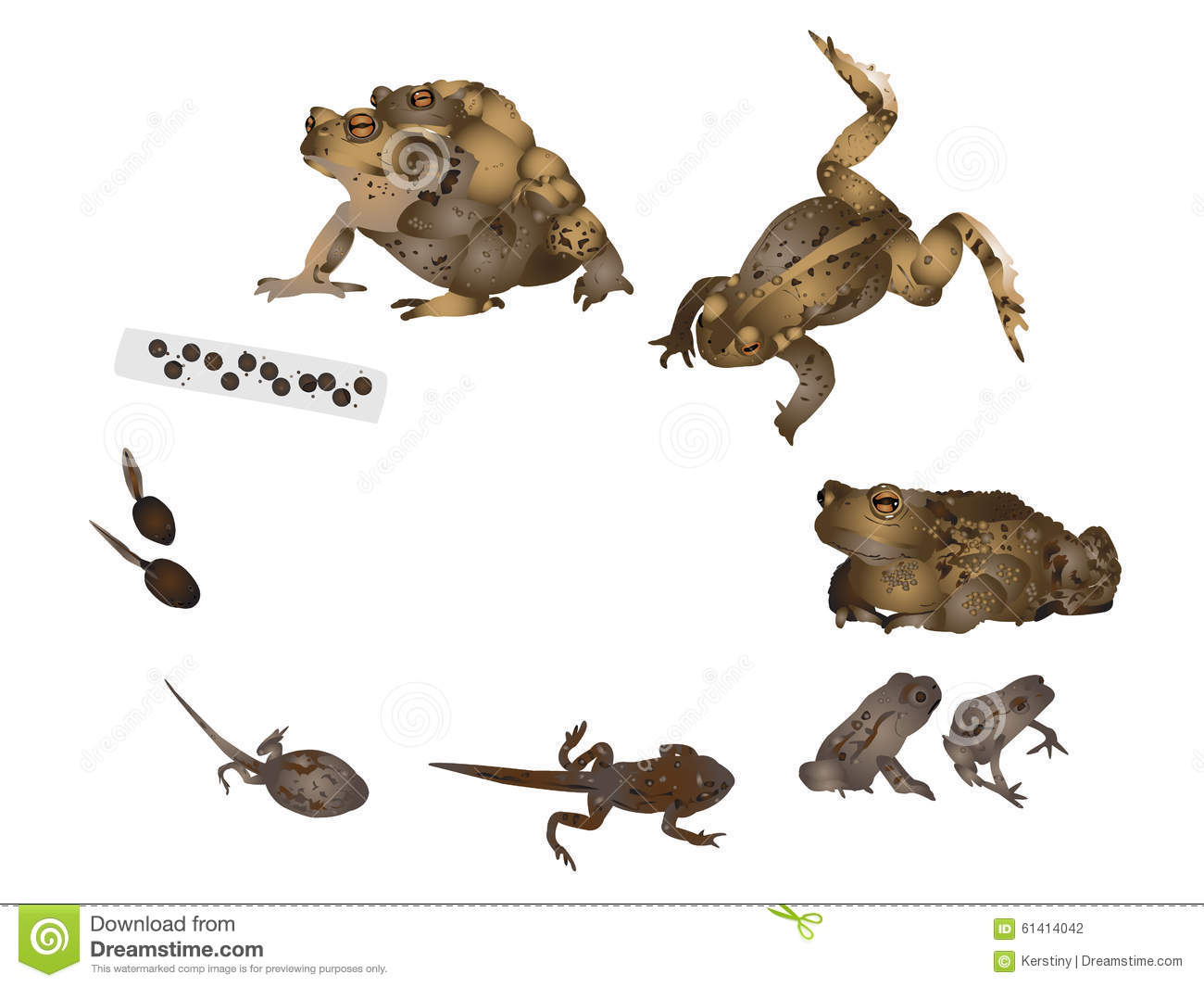 Life Cycle Of Common Toad Stock Illustration - Image: 61414042