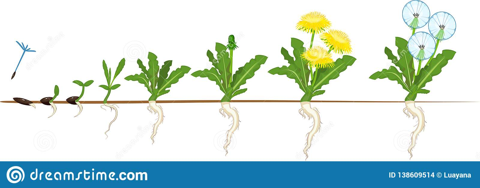 Taraxacum Cartoons  Illustrations  U0026 Vector Stock Images