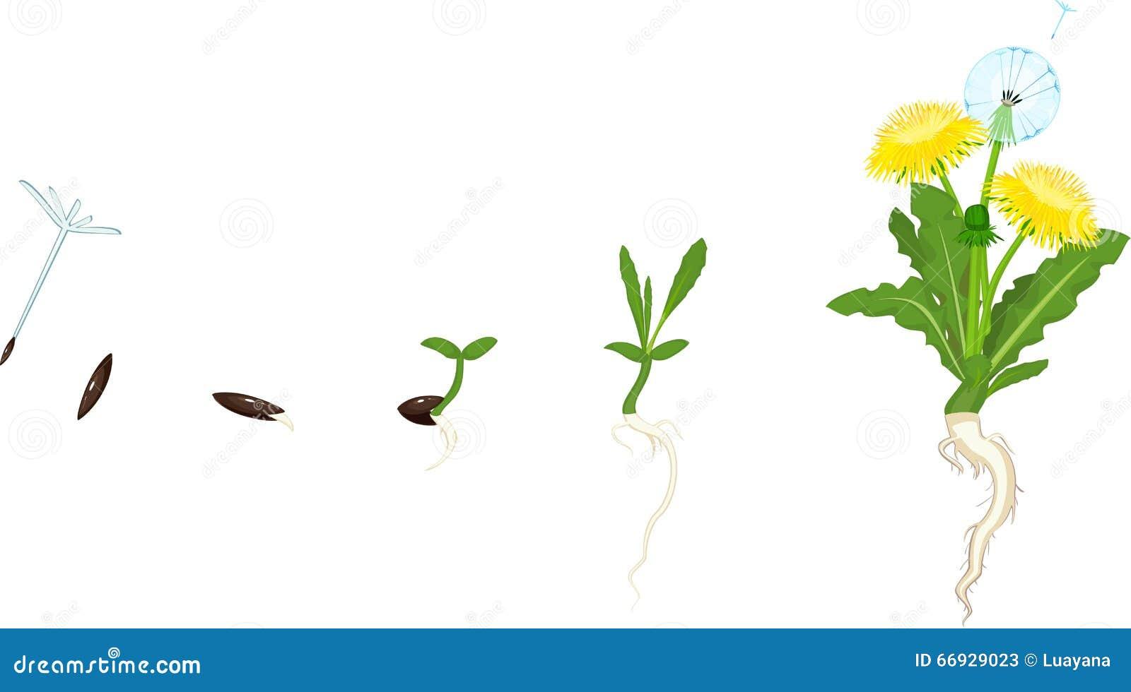Life Cycle Of Dandelion Stock Vector - Image: 66929023