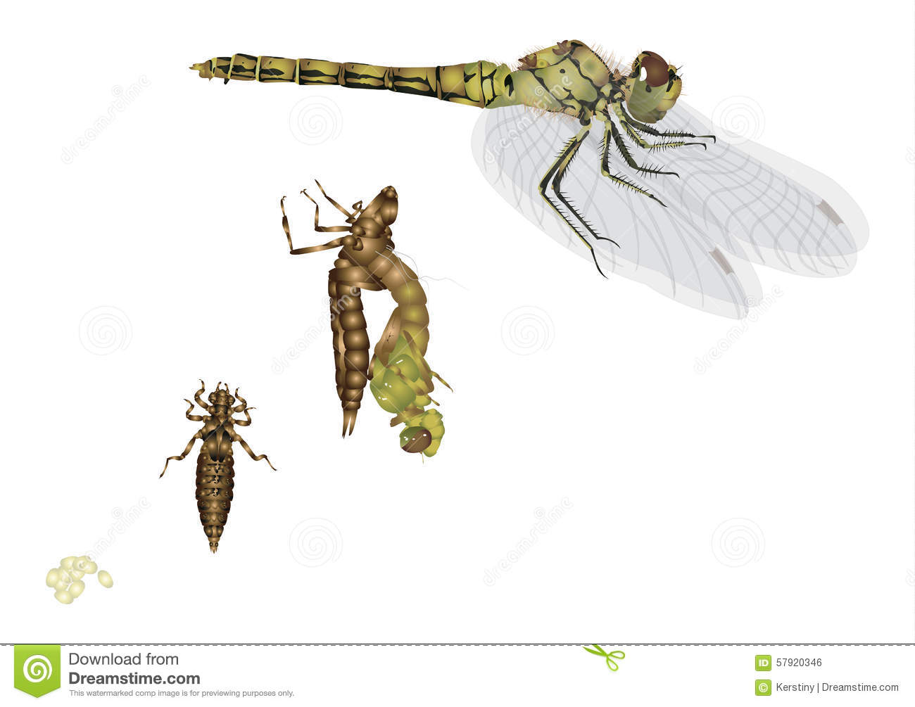 Life Cycle Of Dragonfly Stock Illustration - Image: 57920346