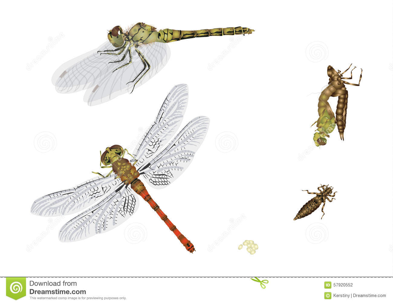 Life cycle of dragonfly stock illustration. Illustration ...