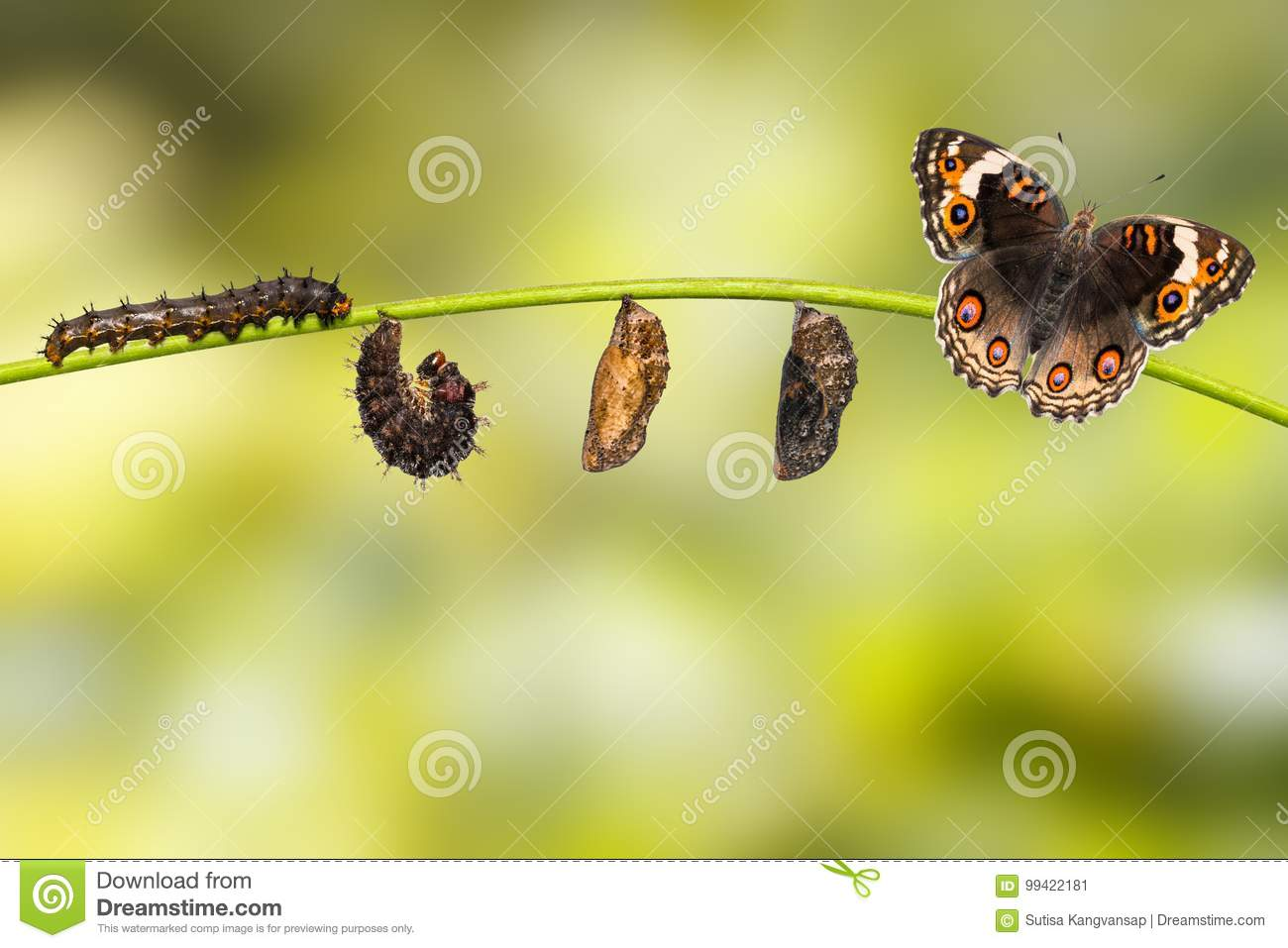 Life cycle of female blue pansy butterfly Junonia orithya Linn