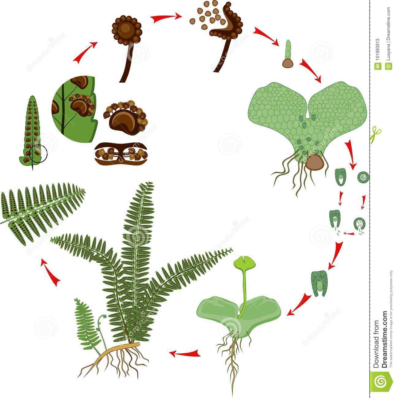 Life Cycle Of Fern. Plant Life Cycle With Alternation Of ...