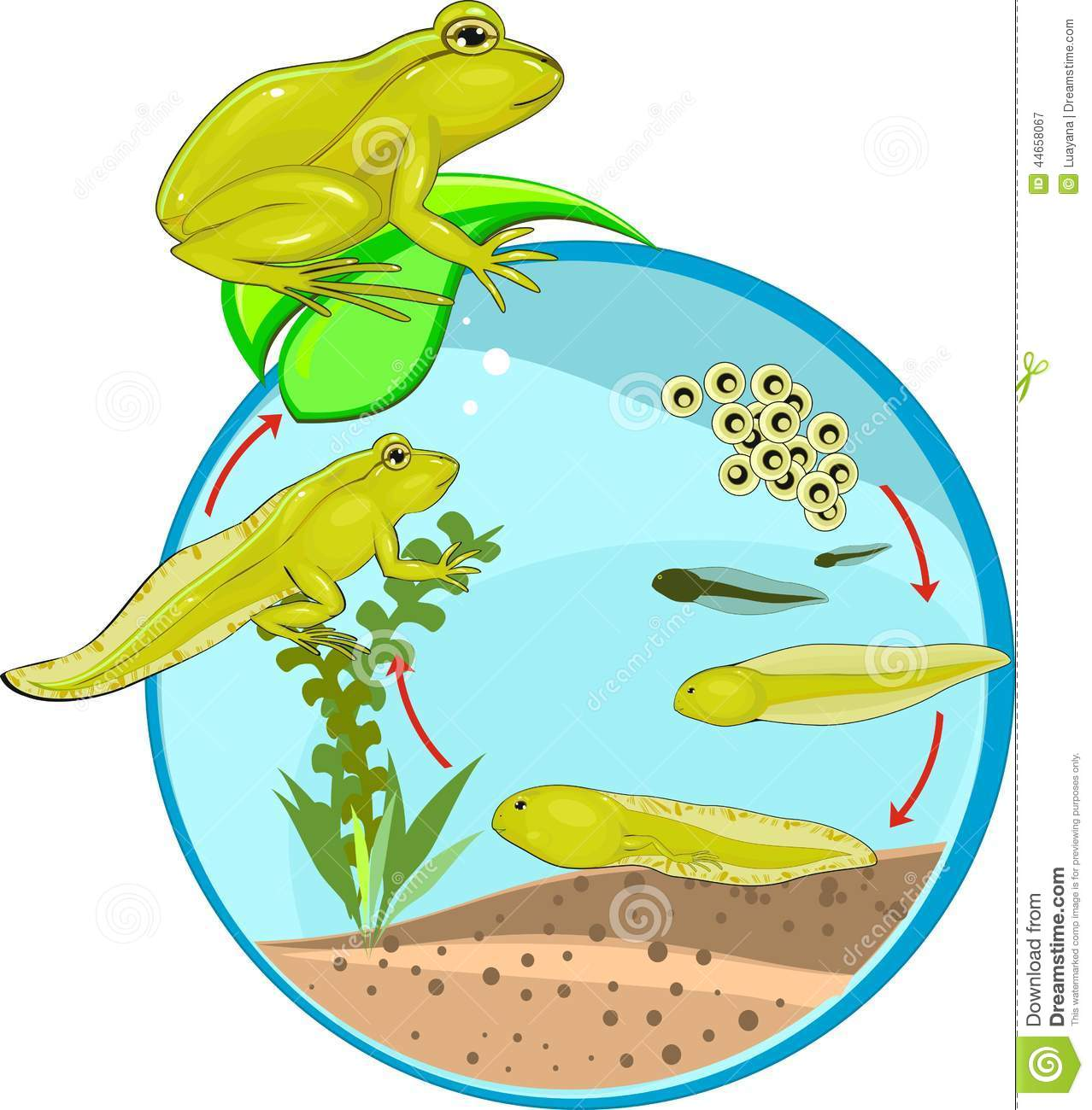 Life cycle of frog stock vector illustration of cycle for Frog transformation