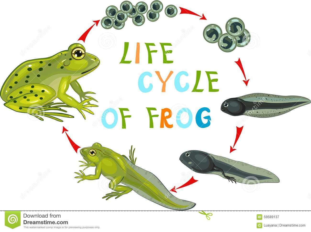 Life cycle of frog cartoon vector for Frog transformation