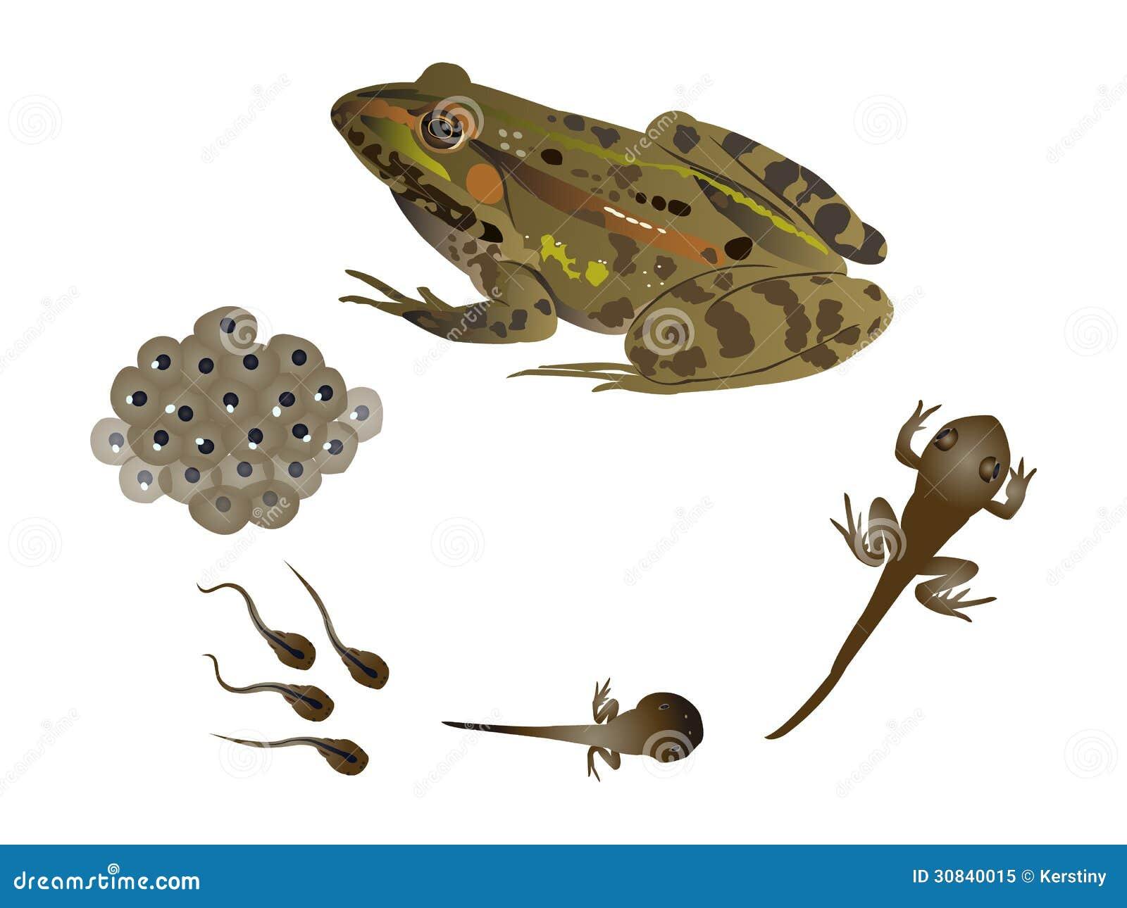 Frog life cycle eggs - photo#25