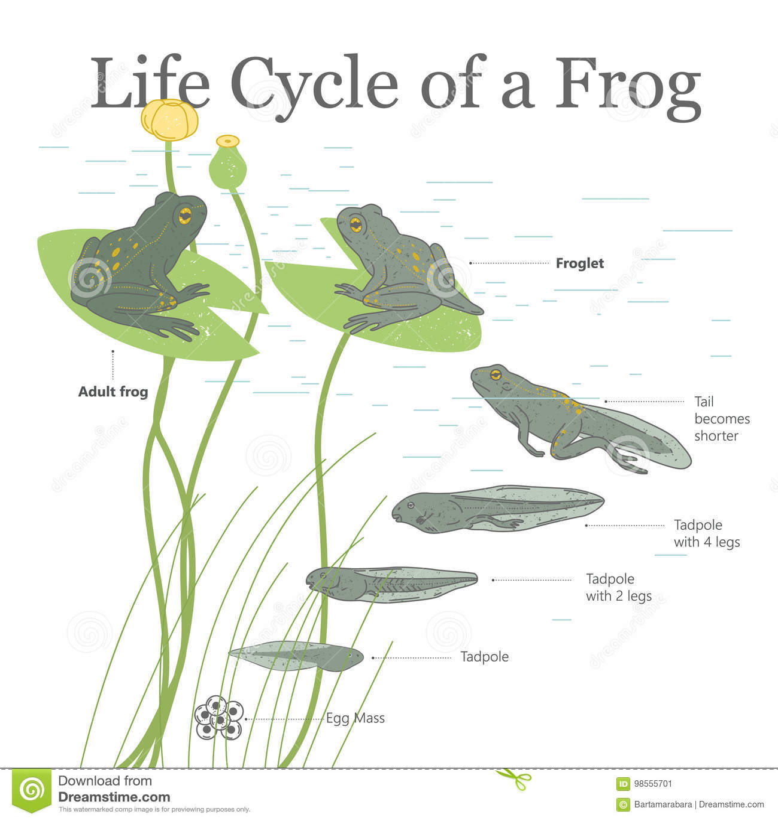 Life Cycle Of Frog Vector Illustration   CartoonDealer