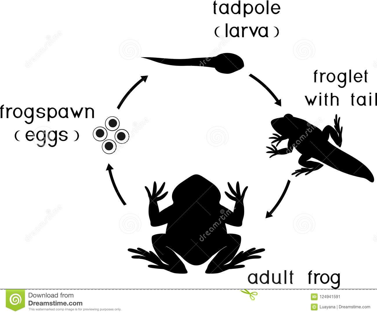 frog embryonic development stages