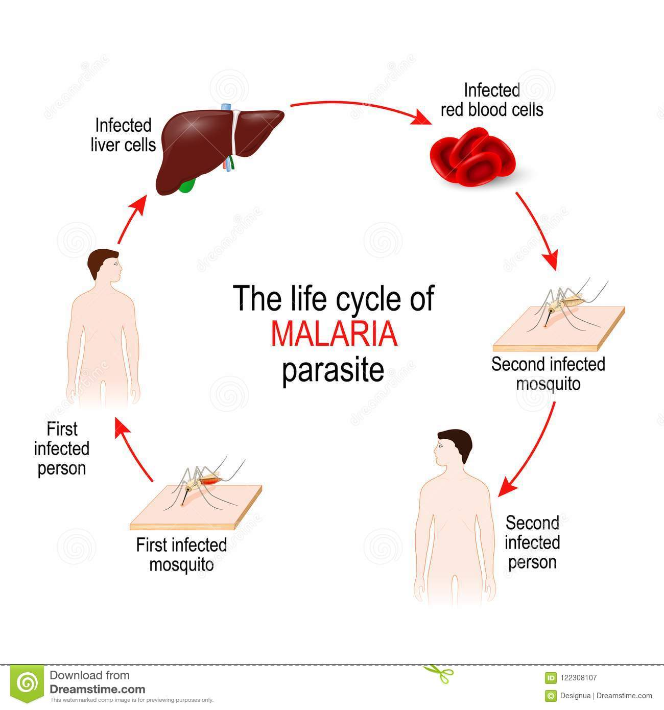life cycle of a malaria parasite stock vector. Black Bedroom Furniture Sets. Home Design Ideas