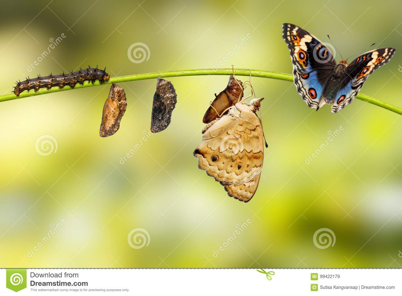 Life cycle of male blue pansy butterfly Junonia orithya Linnae