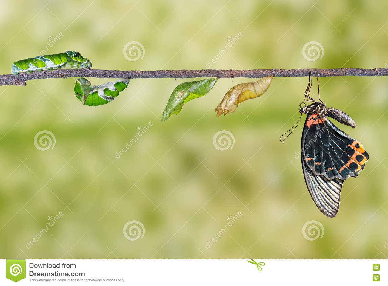 Life cycle of male great mormon butterfly from caterpillar