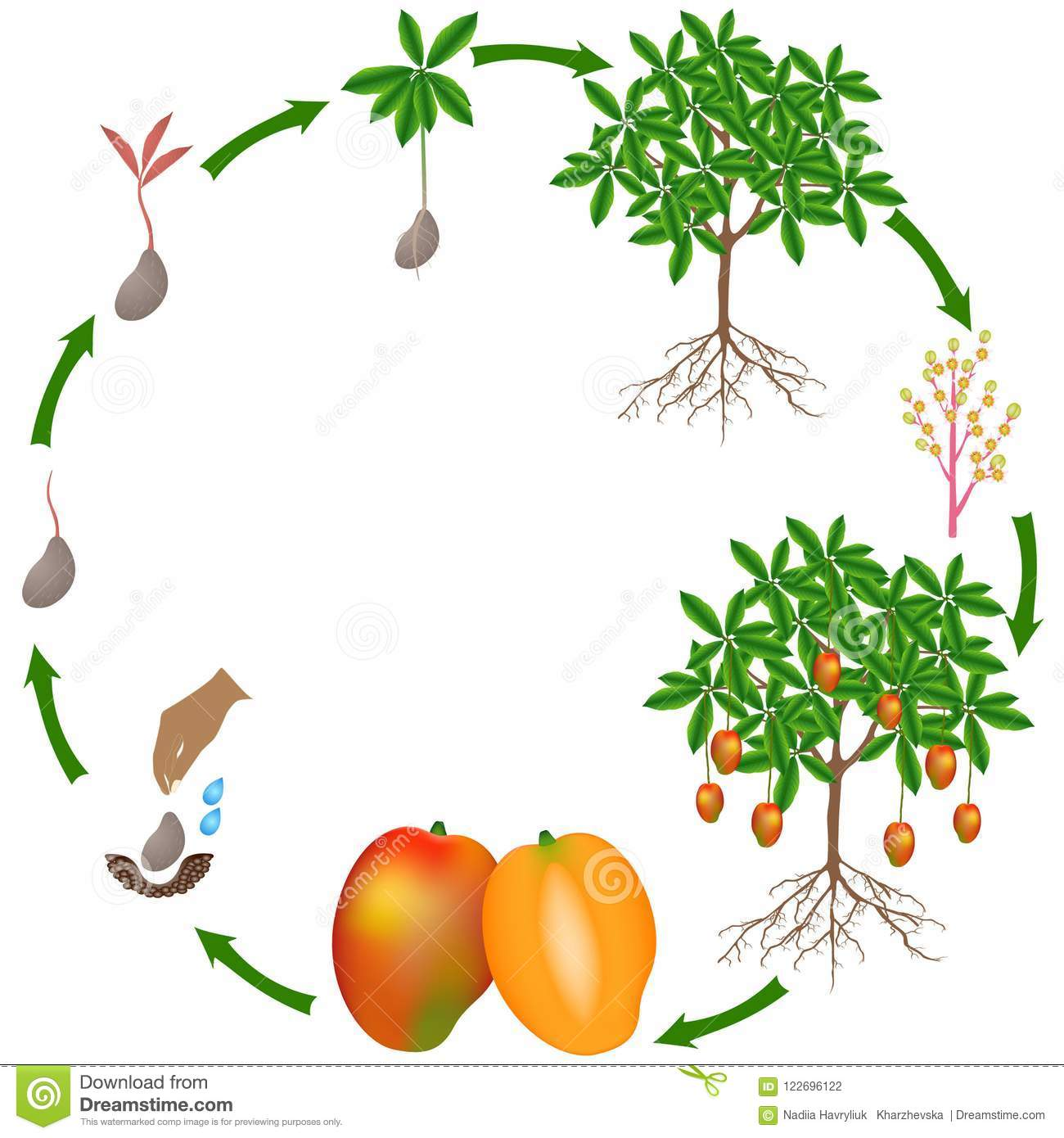 Life Cycle Of A Mango Plant On A White Background  Stock
