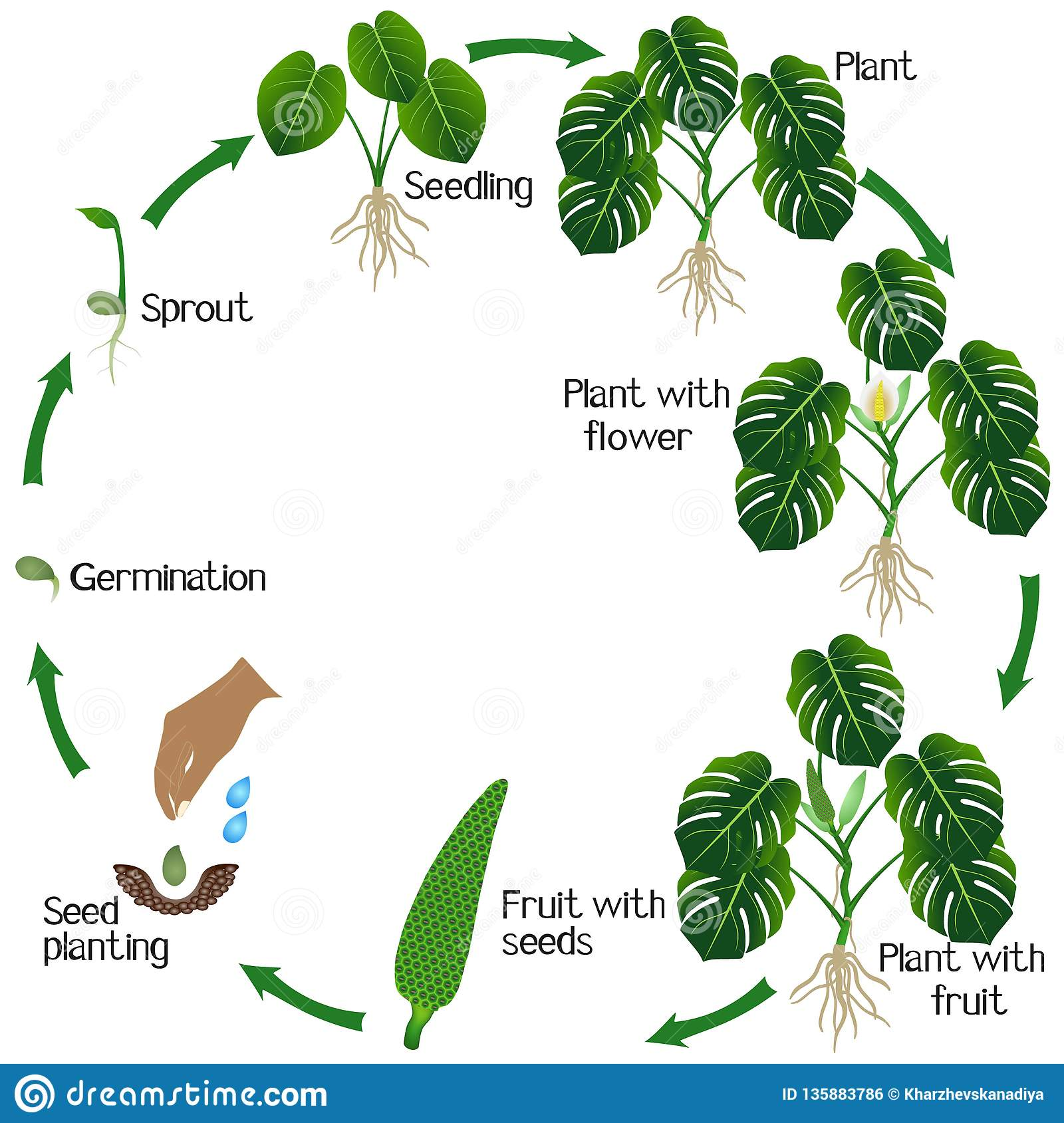 Life Cycle Of A Monstera Or Split-leaf Philodendron Monstera