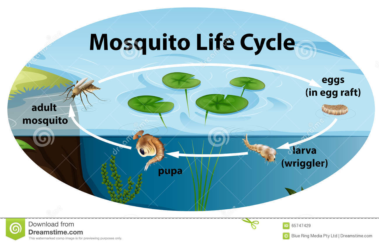 Life Cycle Of Mosquito Stock Vector - Image: 65747429