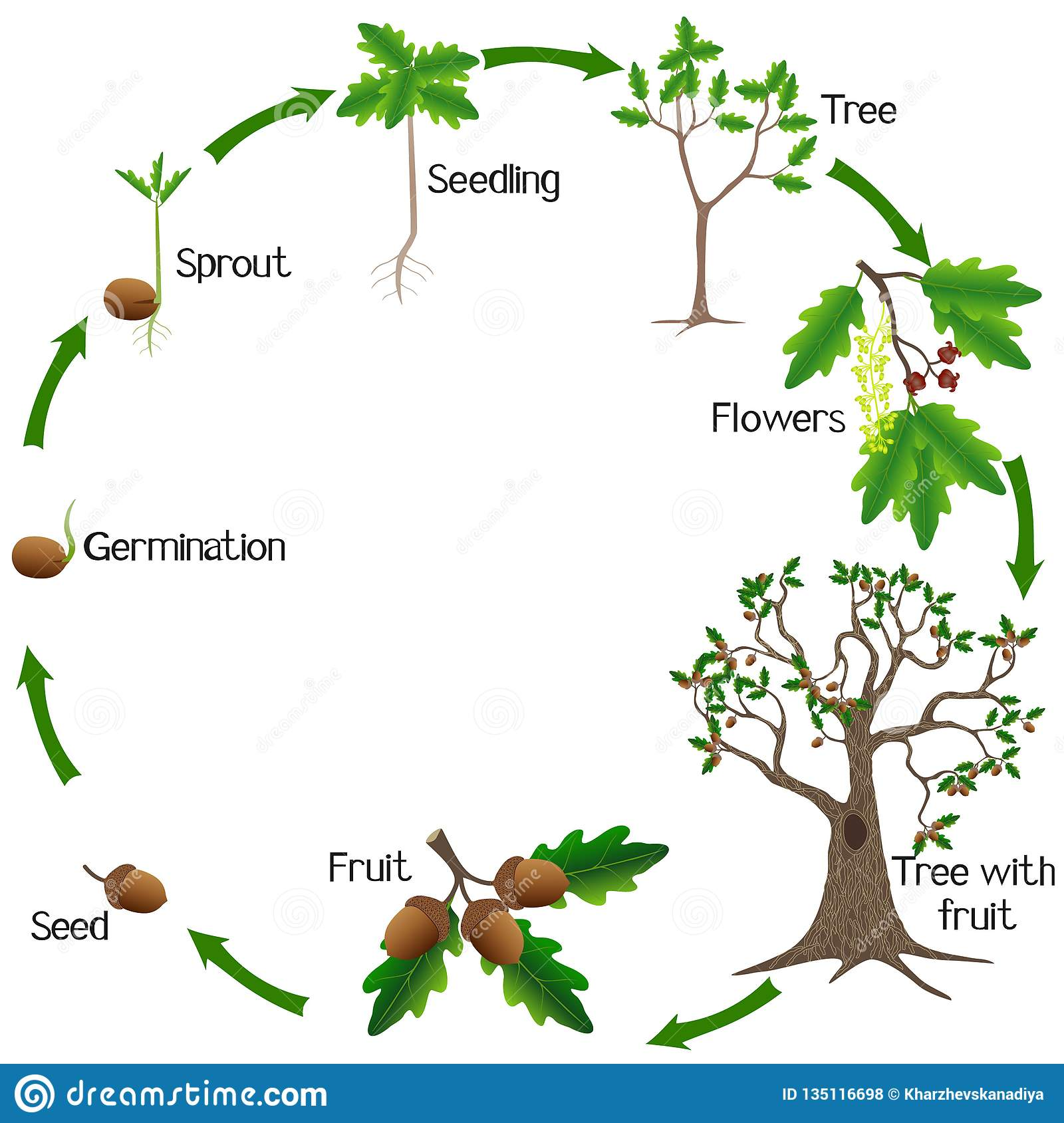 life-cycle-oak-tree-white-background-bea