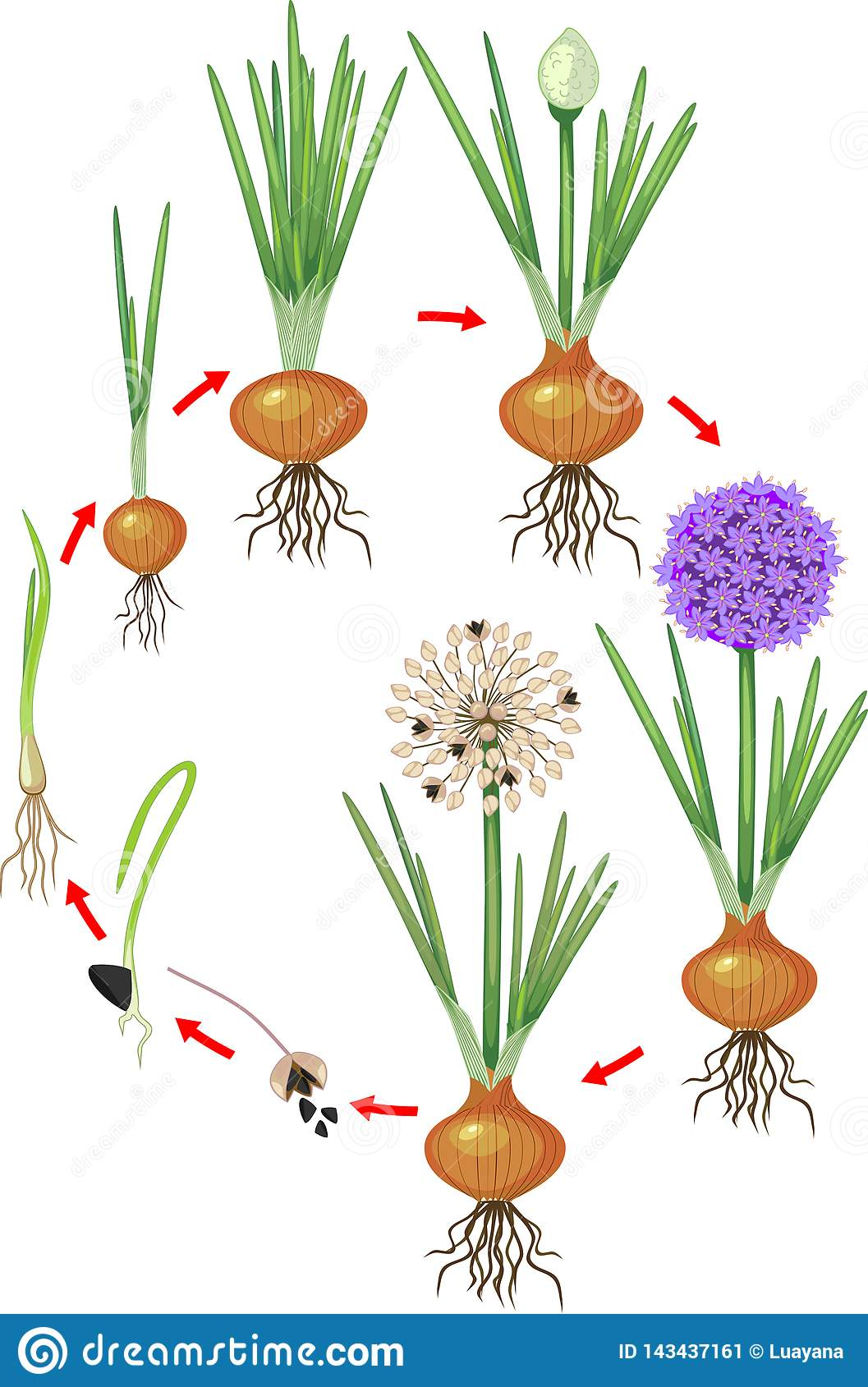 Life cycle of onion plant. stock vector. Illustration of ...