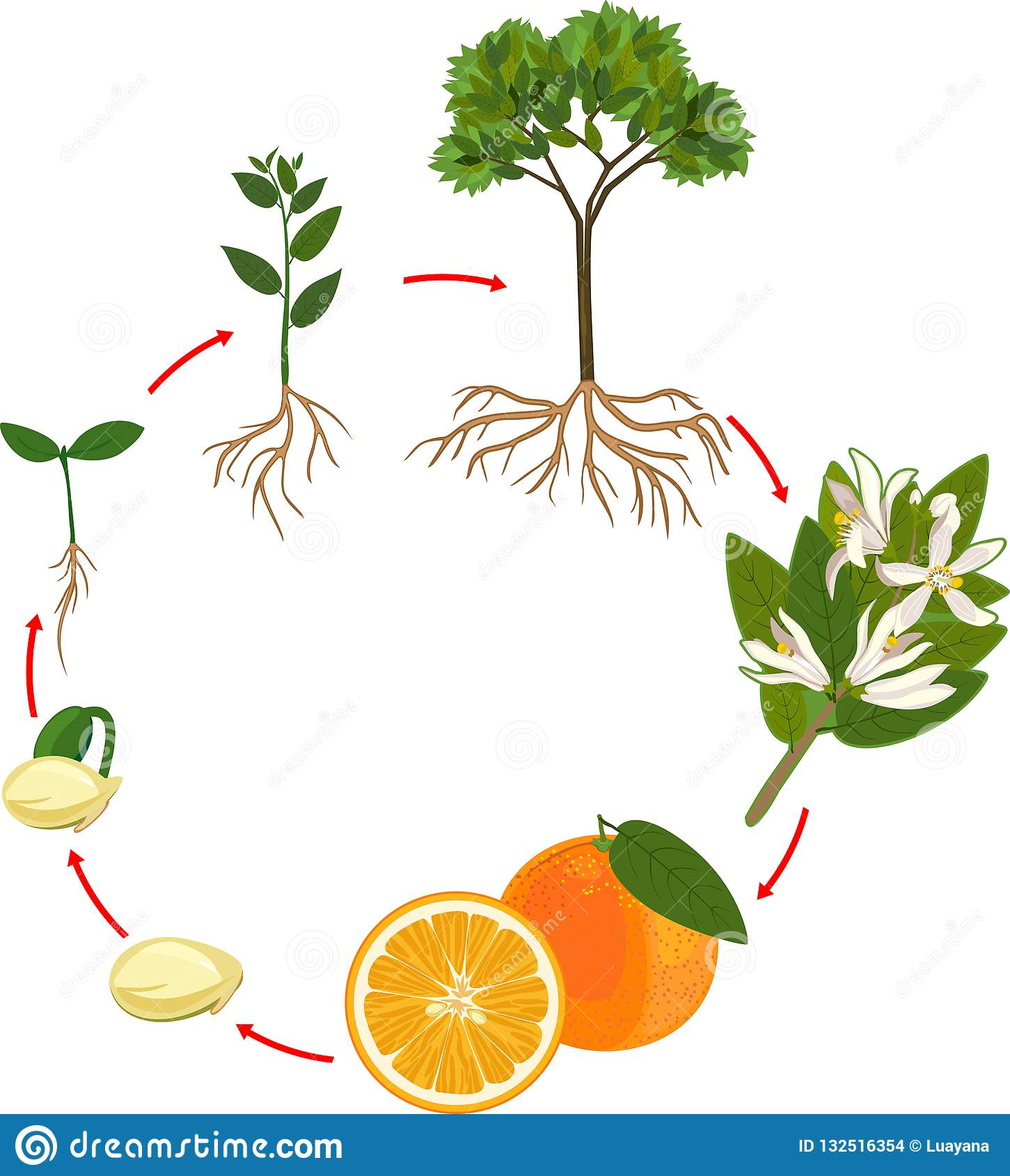 Life cycle of orange tree stock vector. Illustration of nature - 132516354Dreamstime.com