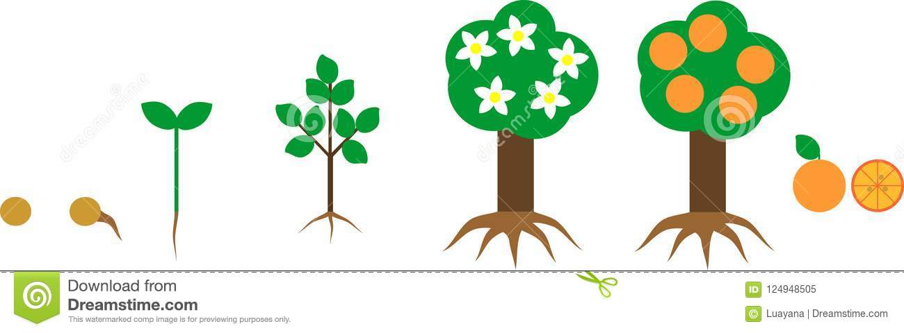 Life Cycle Of Orange Tree With Root System  Plant Growth