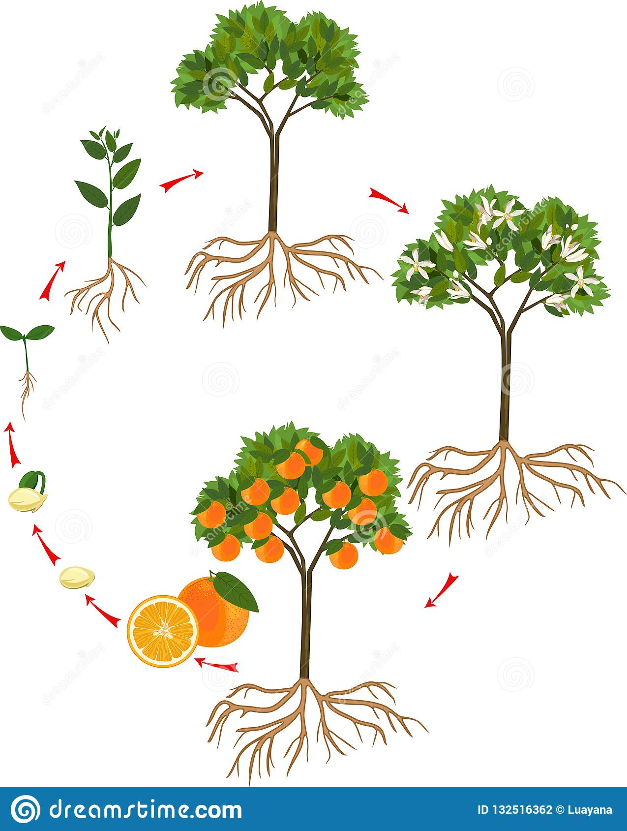 Life Cycle Of Orange Tree Stock Vector  Illustration Of