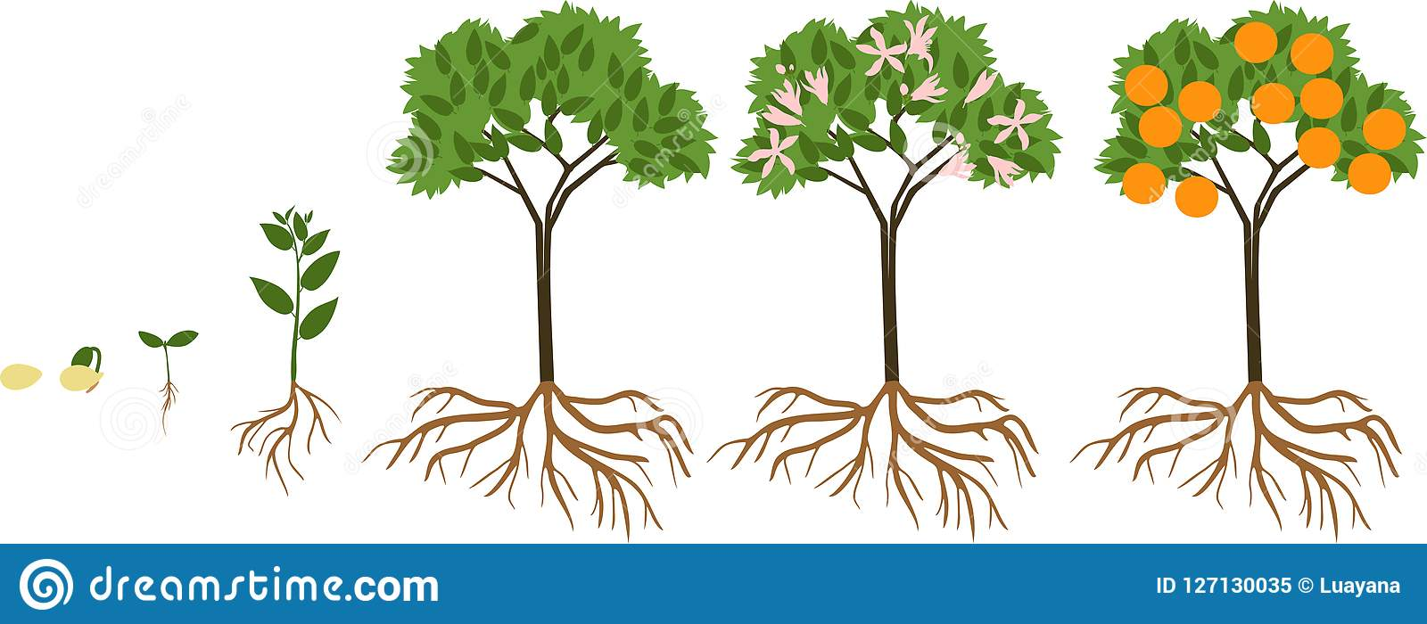 Life Cycle Of Orange Tree. Stages Of Growth From Seed And Sprout To Plant  With Fruits Stock Vector - Illustration of green, reproduction: 127130035Dreamstime.com