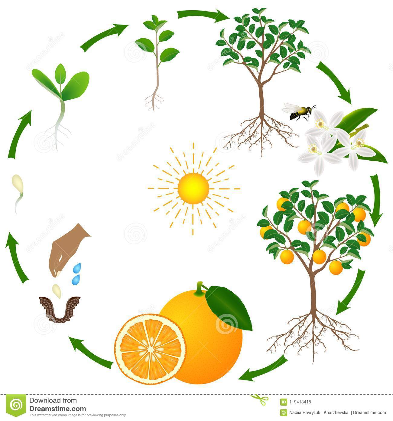 A Life Cycle Of An Orange Tree On A White Background