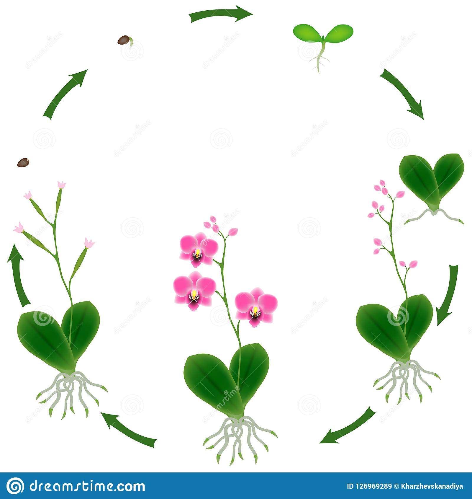 Life Cycle Of A Orchid Plant On A White Background Stock Vector