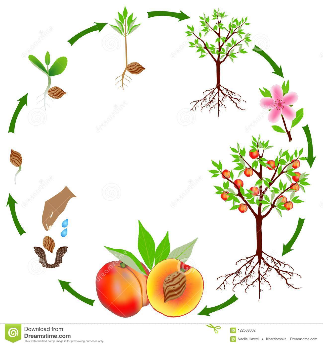 Life Cycle Of A Peach Plant On A White Background  Stock