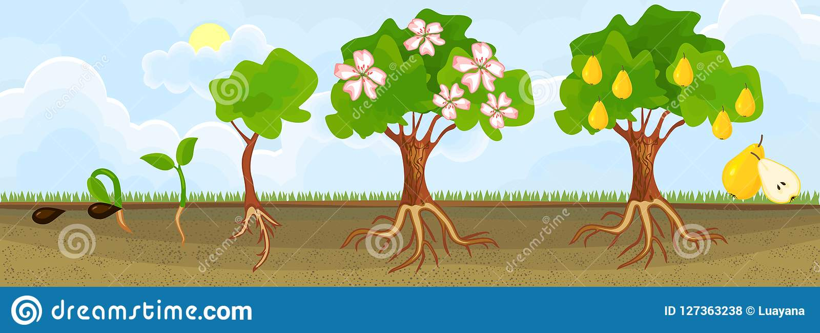 Life Cycle Of Pear Tree Stages Of Growth From Seed And