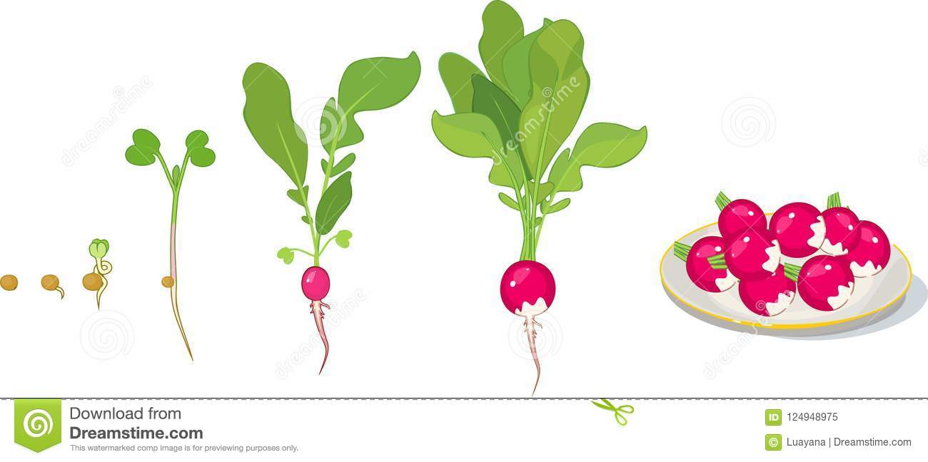 life cycle of plant stages of radish growth from seed to. Black Bedroom Furniture Sets. Home Design Ideas