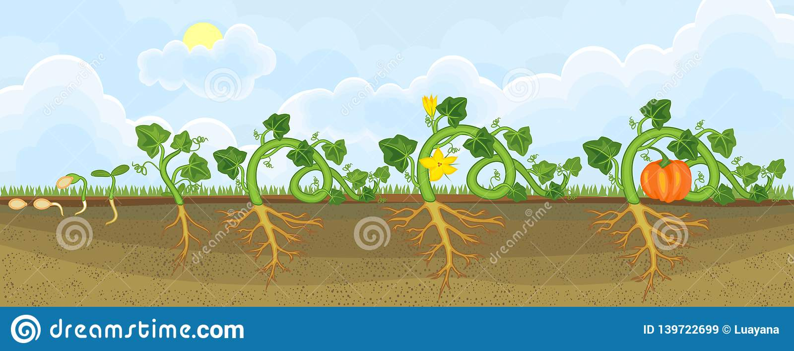 Life Cycle Of Pumpkin Plant  Growth Stages From Seeding To