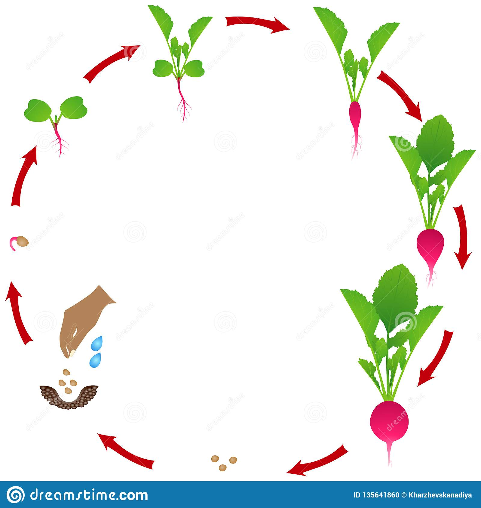 life cycle of radish plant on a white background stock. Black Bedroom Furniture Sets. Home Design Ideas