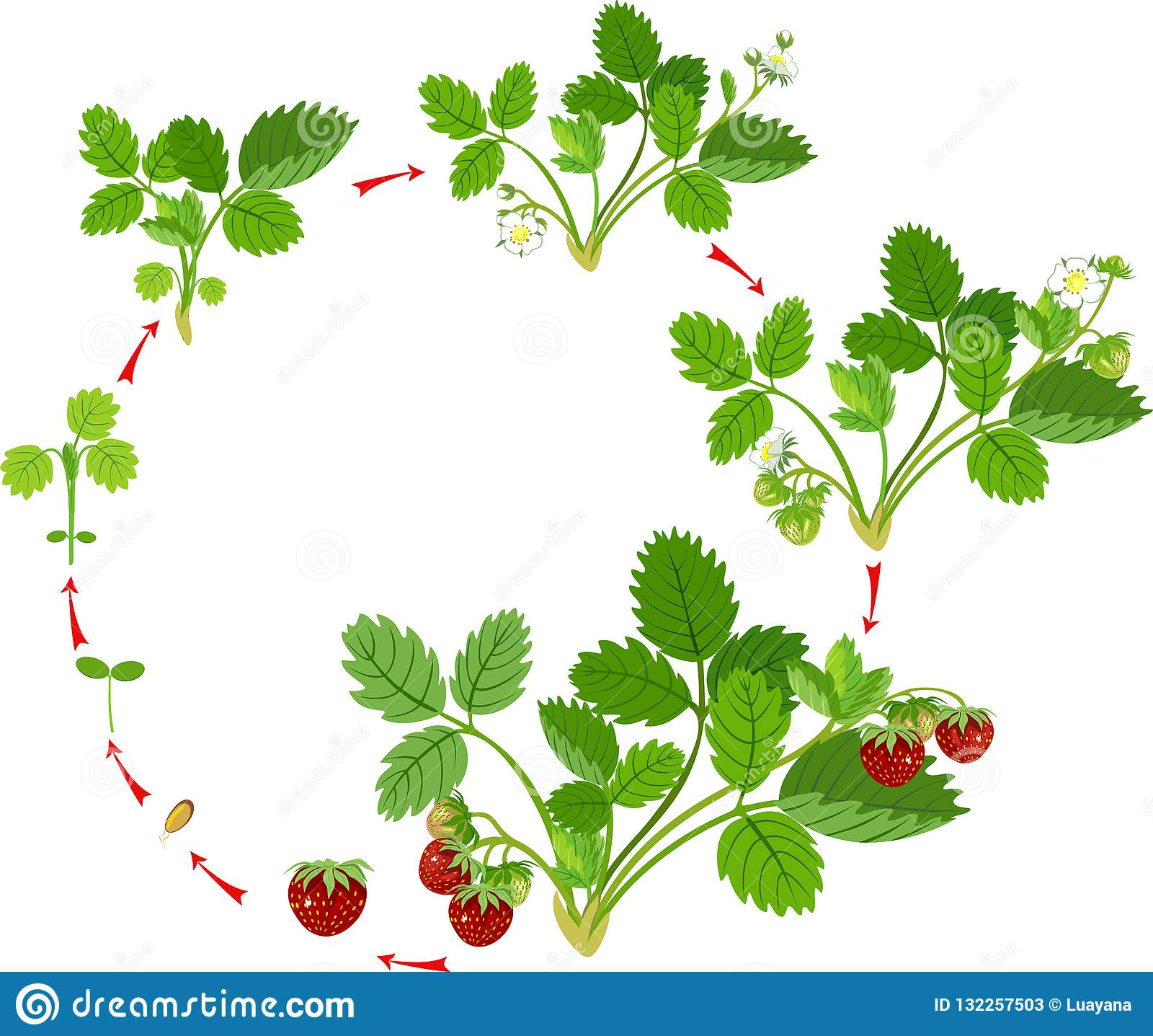 Life Cycle Of Strawberry  Stock Vector  Illustration Of