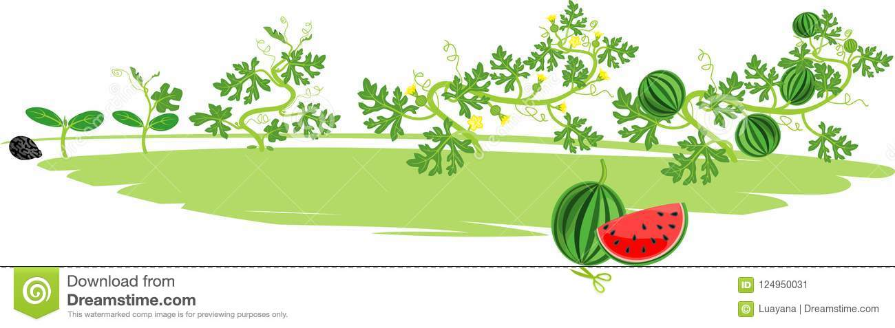 Life Cycle Of Watermelon Plant Stages Of Watermelon Growth From Seed To Harvest Stock Vector Illustration Of Seed Cultivation 124950031