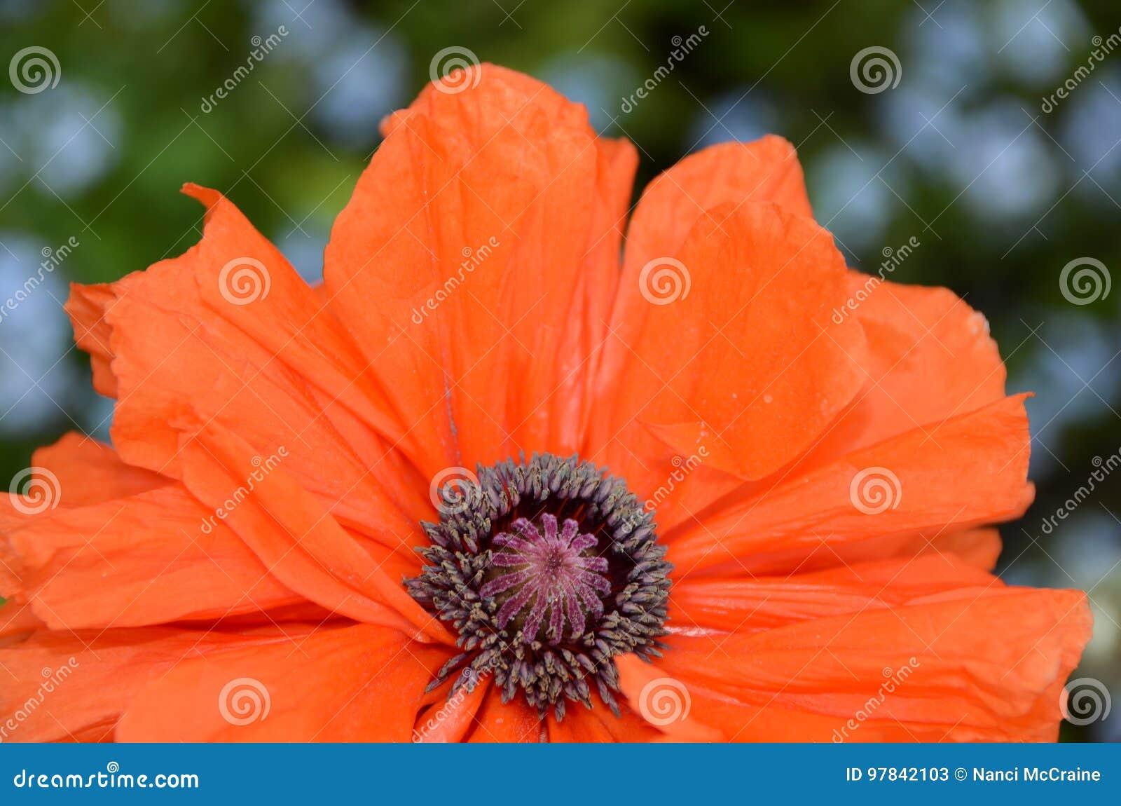 Life Of A Poppy Flower Full Glory Orange Petals Stock Image Image