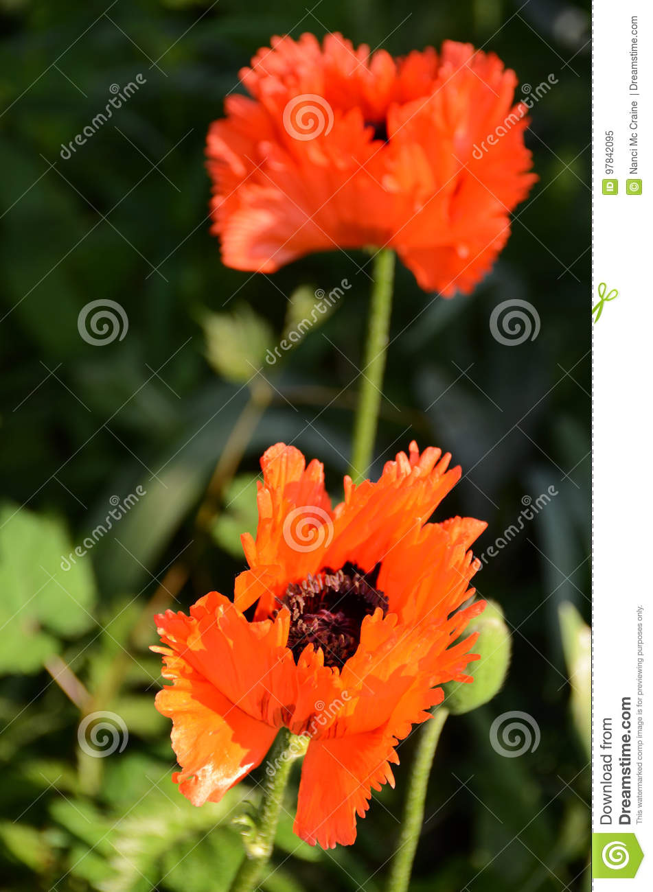 Life Of A Poppy Flower Turkenlouis Red Highly Fringed Stock Image