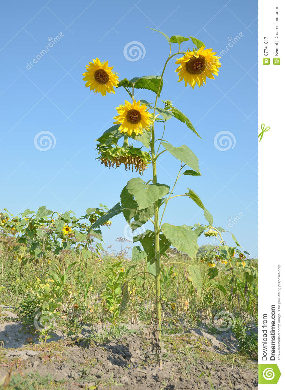 Life Tall Sunflower In Wild Closeup With Yellow Flowers Stock Image