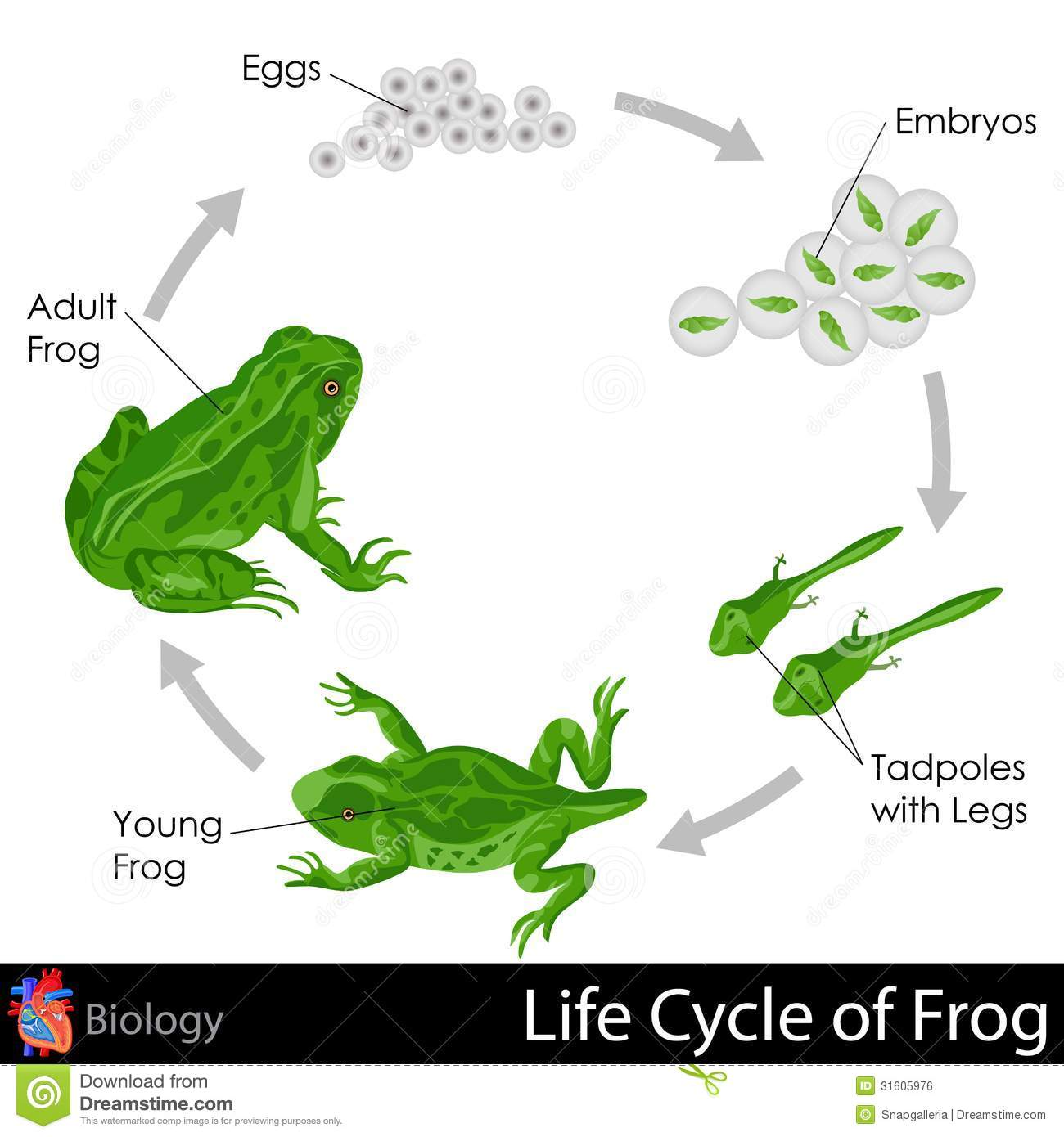 Lifecycle Of Frog Stock Illustration Illustration Of